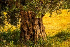 espianto alberi di ulivo